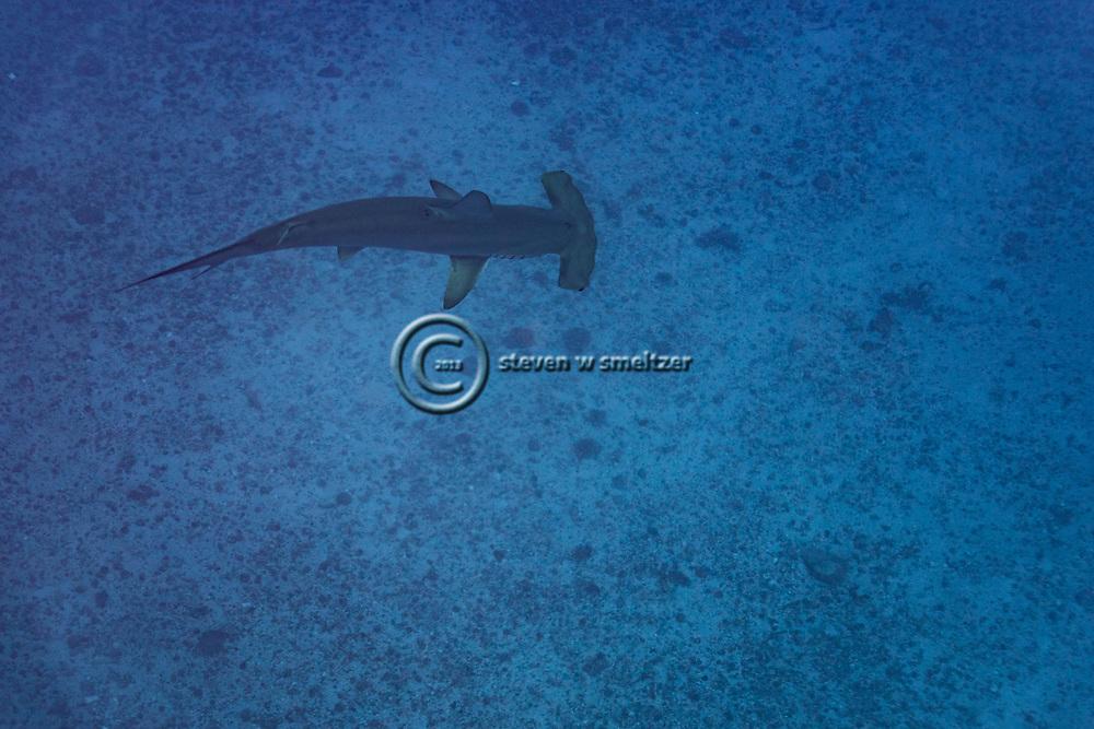 Scalloped Hammerhead Shark, Sphyrna lewini, Molokai Hawaii, Moku Ho'oniki Rock