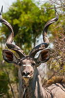 Kudu, Dinokeng Game Reserve, near Pretoria (Tshwane), South Africa.