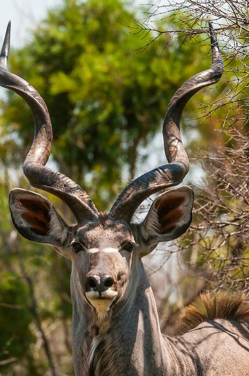 Kudu, Dinokeng Game Reserve, near Pretoria (Tshwane), South Africa.