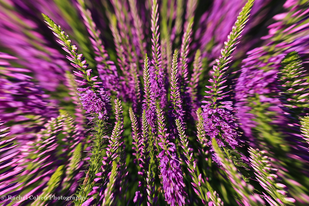 &quot;Lavender Head Rush&quot;<br /> <br /> Beautiful lavender flowers in an wonderful abstract!!<br /> <br /> Flowers and Wildflowers by Rachel Cohen