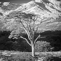 Winters low sun means that even during the hours of mid-day the quality of light reveals wonderful texture and clarity. The tree stood proud in its surroundings and I liked the band of shadowed forest behind contrasting the light on the trunk. The shimmering peak of An Tudair stretched over all and provided the perfect background.