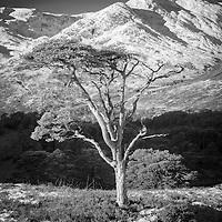 Scots pine and An Tudair, Glen Affric