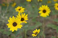 Common Sunflower<br /> (Helianthus annuus)