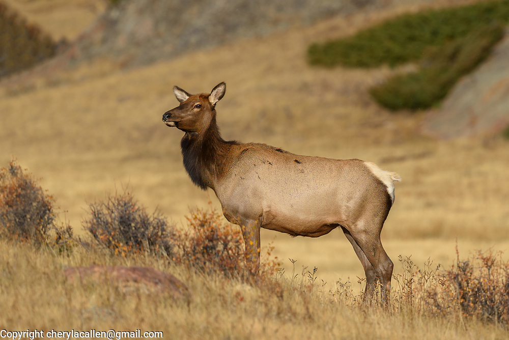 Female Elk in Rocky Mountain National Park
