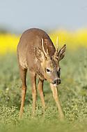Western Roe Deer (Capreolus capreolus) male in oilseed rape crop, South Norfolk, UK. May.
