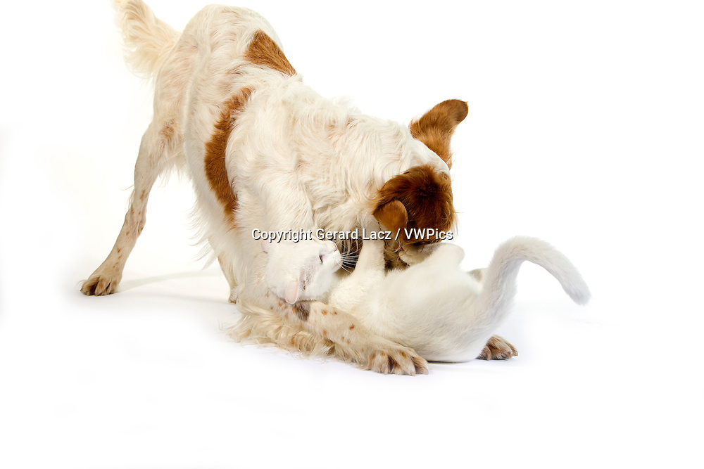 French Spaniel Male (Cinnamon Color) with White Domestic Cat playing against White Background