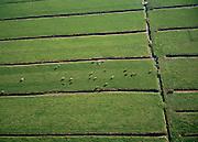 Nederland, Noord-Holland, Hoekerpolder, 25-09-2002;  koeien in de weide in het vroege najaar, direct ten Zuiden van Abcoude; melkkoeien, melkproductie, verkaveling,  Groene Hart, sloten, slootje, veenweide, drainage, waterbeheer, weiland, waterhuishouding, veeteelt..cows in the meadow in the early autumn, directly south of Abcoude; dairy cows, milk production, consolidation, Green Heart, ditches,peatland, drainage, water, pasture, water management, livestock;<br /> luchtfoto (toeslag), aerial photo (additional fee)<br /> foto /photo Siebe Swart