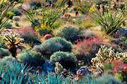 Desert garden in Plum Canyon, Anza-Borrego Desert State Park, California