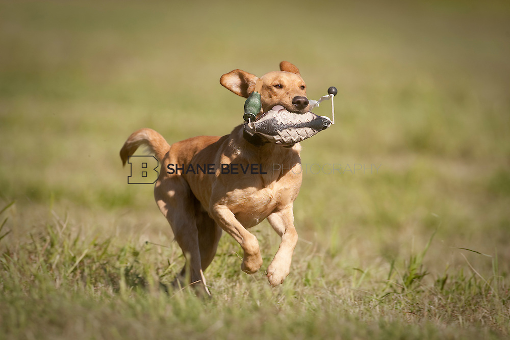 Retriever training at the Three Rivers Hunt Club in Oklahoma. ..Photos by Shane Bevel