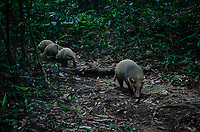 A hog badger (Arctonyx collaris) family of a mother and 3 young. The hog badger is a terrestrial mustelid that is widespread in Central and Southeast Asia. It is listed as Near Threatened in the IUCN Red List of Threatened Species.
