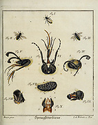 Mosquito and Flies 18th century Entomology study from D. Jacob Christian Schaffers Abhandlungen von Insecten (Treatises on insects) published in 1764 by Schäffer, Jacob Christian, 1718-1790 Second addition Printed in Germany in 1797