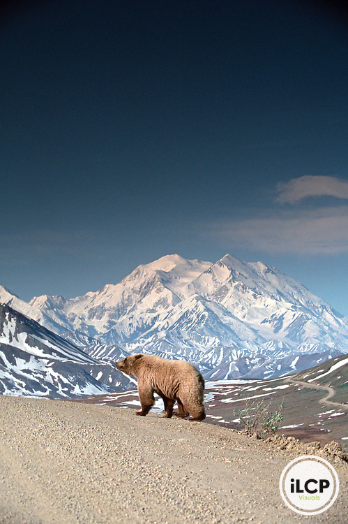 Alaskan Brown Bear in Denali National Park with Mt. McKinley in background<br /> Original Shot in Film