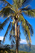 Coconut Palm tree, Oahu, Hawaii