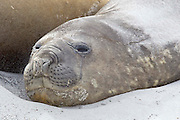 A southern elephant seal rests on a secluded beach ambivalent to the 40 knot winds blowing sand