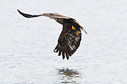Immature Bald Eagle (Haliaeetus leucocephalus) fishing at the Hood Canal of Puget Sound, Washington, USA