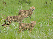 Cheetah family in the rain,<br /> Acinonyx jubatus, Huluhulwe Game Reserve<br /> South Africa