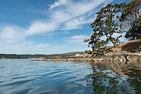 Garry Oak tree grows on a small island in the ocean, on a paddle in View Royal in Victoria, BC.