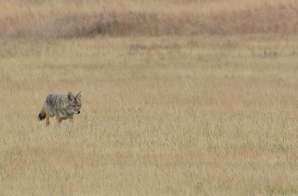 Coyote walking through long yellow grass