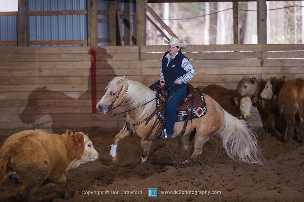 April 29 2017 - Minshall Farm Cutting 1, held at Minshall Farms, Hillsburgh Ontario. The event was put on by the Ontario Cutting Horse Association. Riding in the 250 Novice Rider Class is Shelly Price on Smart Juicy Chex owned by the rider.