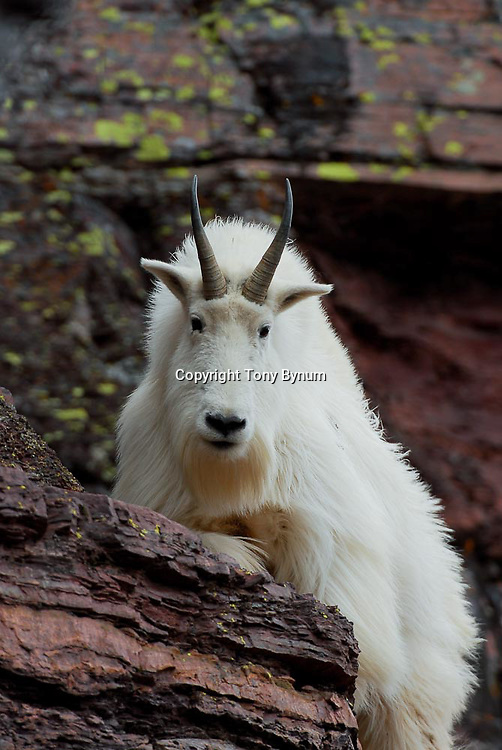 big white long haired billy goat stands face foward, close with basalt dark rock background