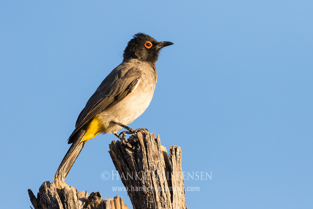 A redeyed bulbul perches in morning sunlight, Damaraland, Namibia.