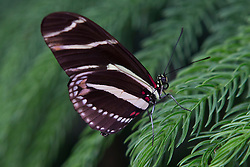 Side view of a Zebra Longwing (Heliconius charitonius) butterfly