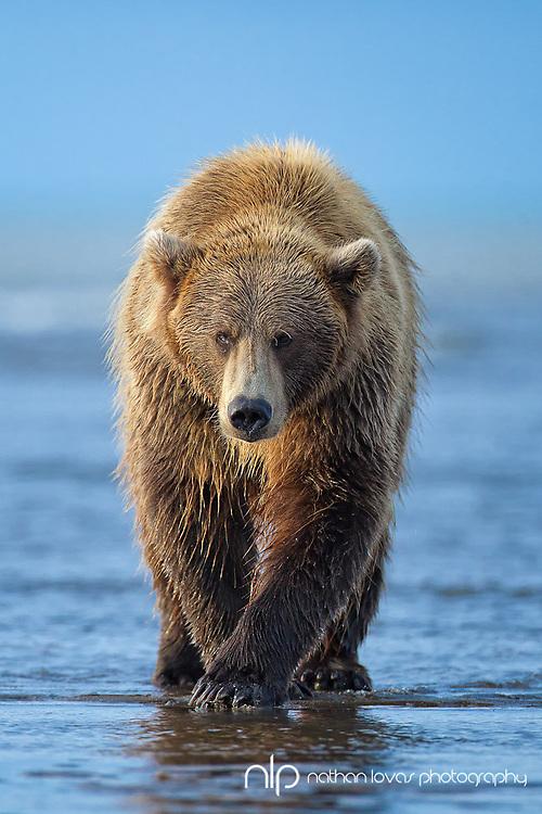 Brown Bear walking on tidal flats in morning light; Lake Clark NP, Alaska in wild.