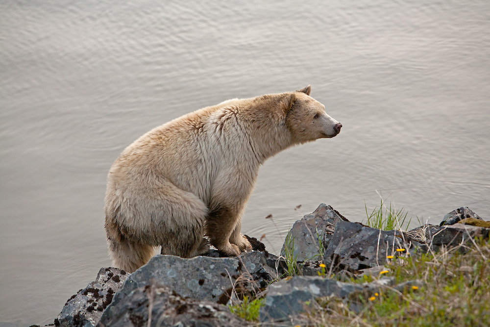 Kermode bear walking along Skeena River