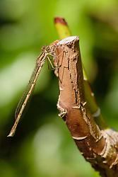 Bruine winterjuffer, Sympecma fusca