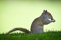 A squirrel snacks on a nut it found on the ground while foraging the grass Tuesday in Coeur d'Alene.