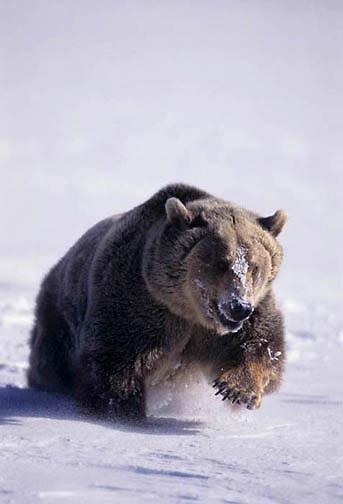 Grizzly Bear, (Ursus horribilis) Running through snow. Montana.  Western Rockies. Winter.    Captive Animal.