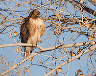 Red-tailed hawk adult perched in winter cottonwood tree, Rio Grande corridor, NM, © 2012 David A. Ponton