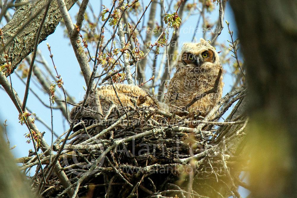 Great Horned Owl or Owlet (Bubo virginianus)