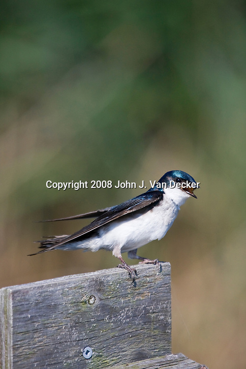 Tree Swallow on top of nesting box chirping