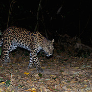 The leopard (Panthera pardus) in Thailand. The image is a camera trap image.