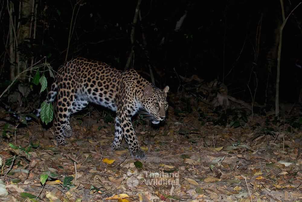 The leopard (Panthera pardus) in Kaeng Krachan National Park Park, Thailand. The image is a camera trap image.