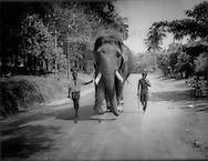 Mahouts lead a massive blind tusker, Pinnawala Elephant Orphanage, Sri Lanka..This mammoth tusker was rescued from the wild after being permanently blinded by gunshot wounds.  Mahouts were able to domesticate this remarkably docile adult bull..