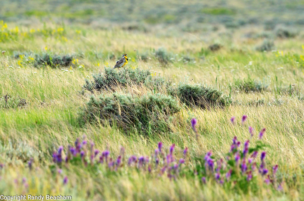 A western meadowlark calling in the Great Plains of Montana at American Prairie Reserve. South of Malta in Phillips County, Montana.