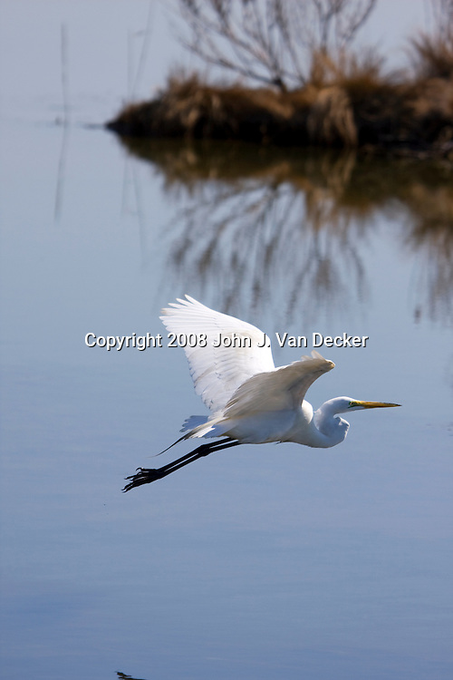 Great Egret, Ardea alba, flying over a salt marsh