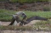 An adult Blue-footed booby feeds a juvenile on North Seymour island in the Galapagos.