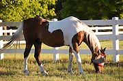 Race horse grazing at sunset. Horse farm in the Hill Country north of San Antonio, Texas