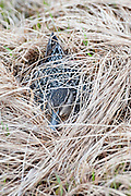 Green-winged Teal, Anas crecca, female on nest, Yukon Delta NWR, Alaska