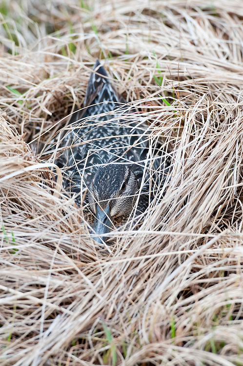 Green-winged Teal, Anas crecca, female on nest, Yukon Delta NWR, Alaska