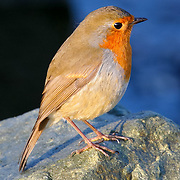 Small fat Robin bird on rock, (none), Ireland (October 2007)