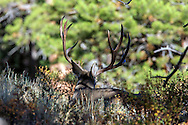 Mule deer buck bedded in habitat