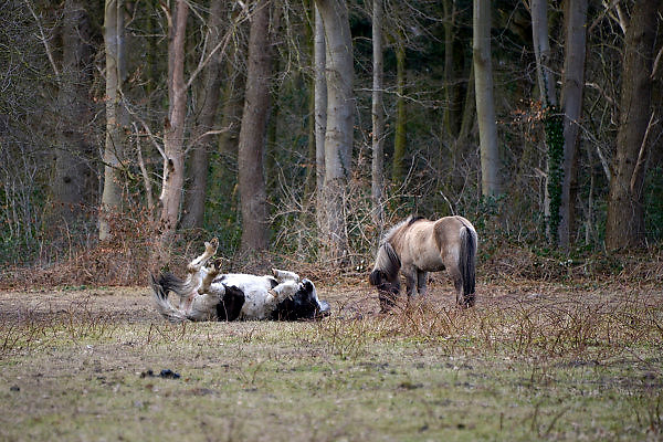 Nederland, Wageningen, 18-3-2013Twee paarden staan in een wei aan de rand van een bos. Een rolt zich in het gras over de grond om jeuk weg te krabben.Foto: Flip Franssen/Hollandse Hoogte