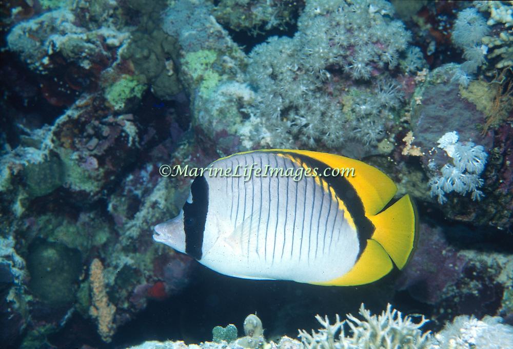 Lined Butterflyfish inhabit reefs. Picture taken Fiji.