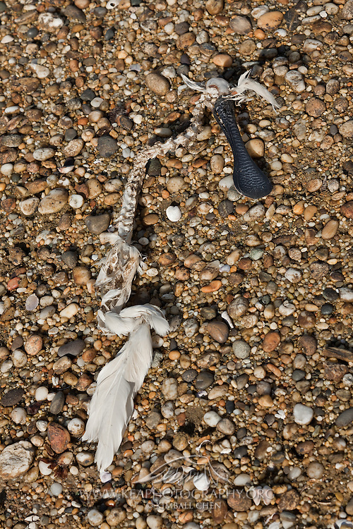 Skeletal remains of a washed up royal spoonbill at Awarua Wetlands, Southland, New Zealand