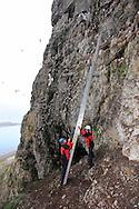 Grad students Solveig Nilsen and Dagfinn Breivik Skomsø position ladder hauled hundreds of meters up steep slope to sheer cliffs of kittiwake colony to do field research on Blomstrand island; Kongsfjorden, Svalbard.