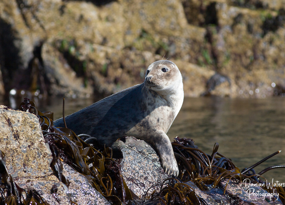 Grey Seal, Halichoerus grypus, on Farne Island, Northumberland